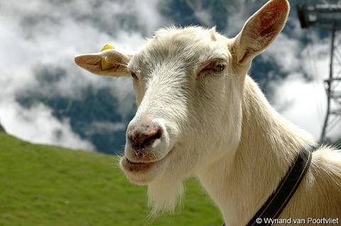 Goat in Switzerland by wYnand!.