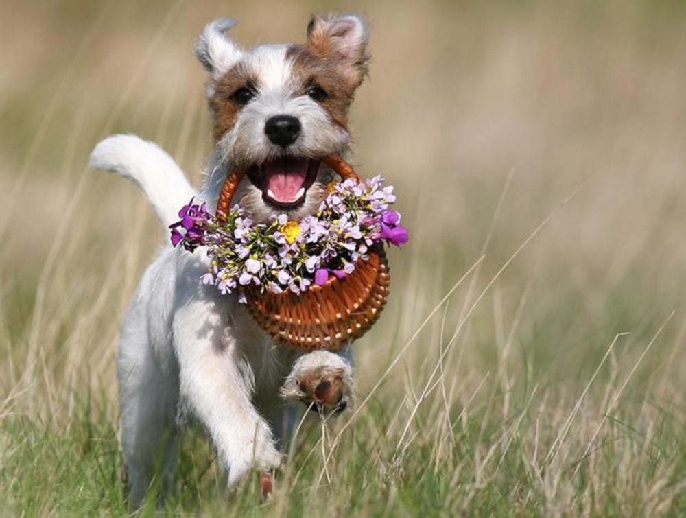 Фото собачка с цветком в зубах