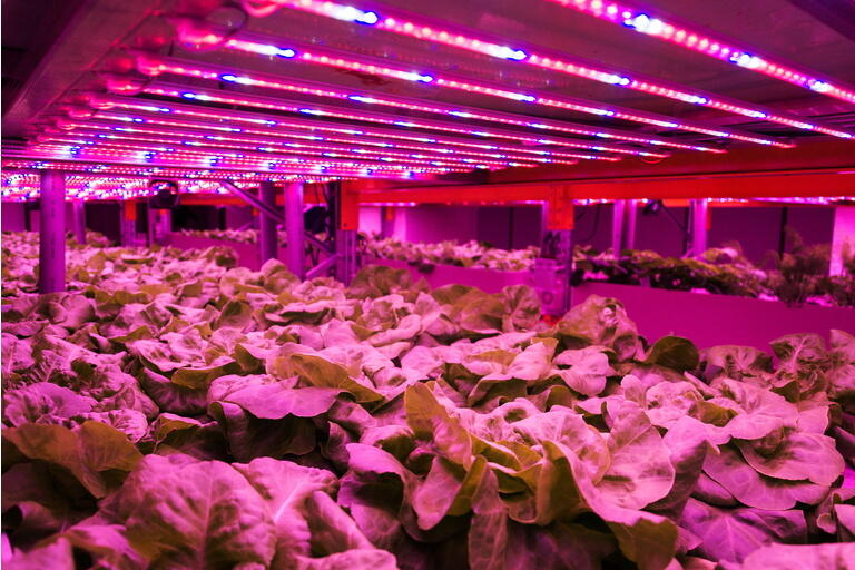Special LED lights belts above lettuce in aquaponics system combining fish aquaculture with hydroponics, cultivating plants in water under artificial lighting, indoors