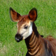 Okapi Research