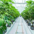 cannabisinvestor