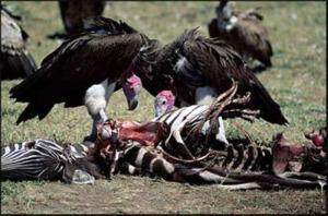 Vultures at the feeding trough