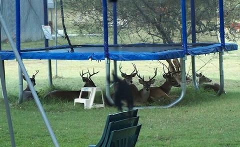 trampoline deer