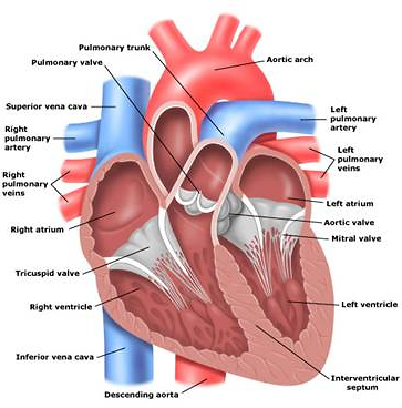 Inspiremd an undervalued and unknown company atif raja seeking the human heart and the blood vessels involved ccuart Image collections
