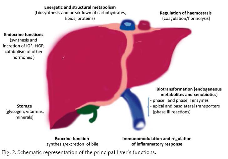 Organovo: Modest Expectations For The Liver Tox Assay - Organovo ...
