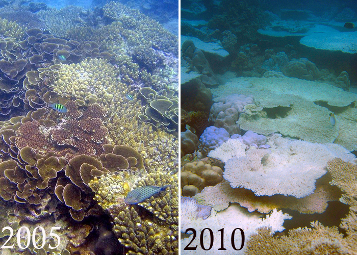 cause effect of coral sea Destruction of corals can be caused by abiotic and/or biotic agents or a combination of both the above mentioned effects of various causal organisms or events are destructive and long-lasting effect of lesion size and shape on regeneration of the red sea coral faviafavus.