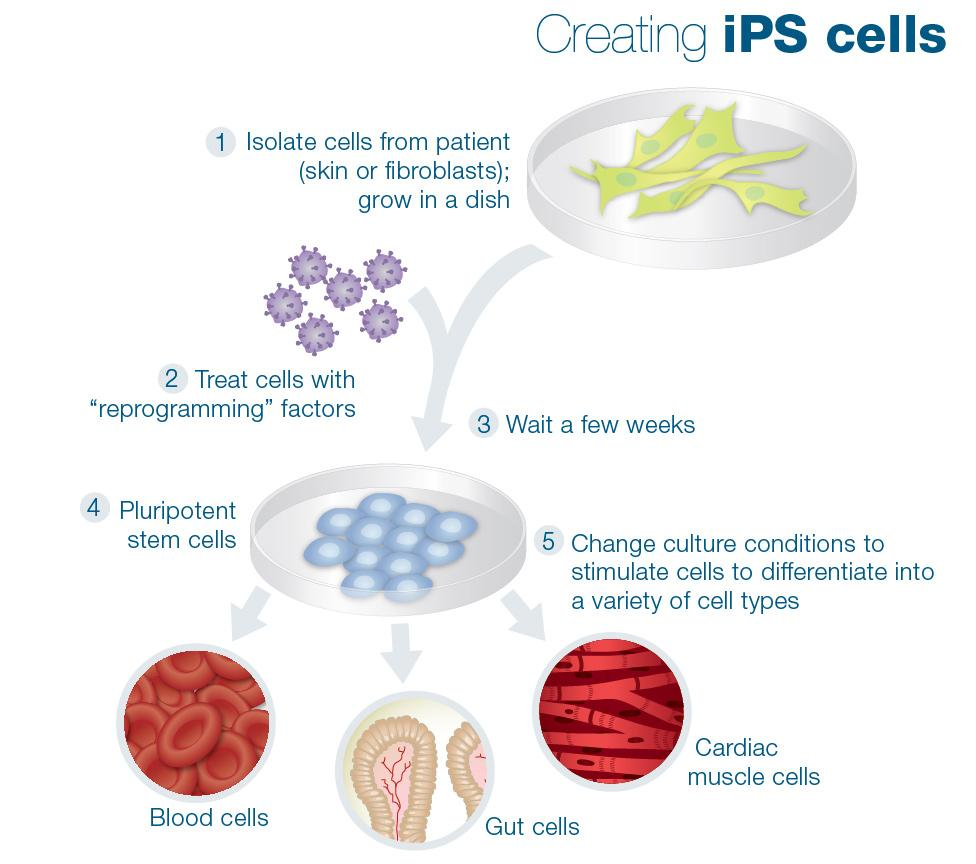 the possible capabilities utilizing stem cell research Why not use adult stem cells instead of using human embryonic stem cells in  research  for faqs on research and policy questions, cell line availability  and the  stem cells are cells that have the potential to develop into some or  many  and these cells have a limited capacity for proliferation, thus making it  difficult to.