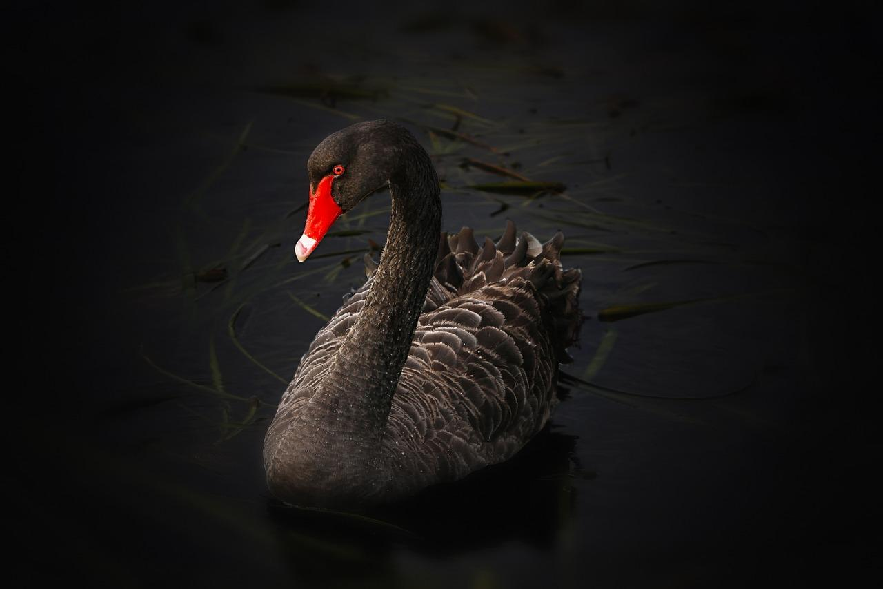 The Black Swan. Buy When The Black Swan Flies  Sell When It Comes Home To Roost