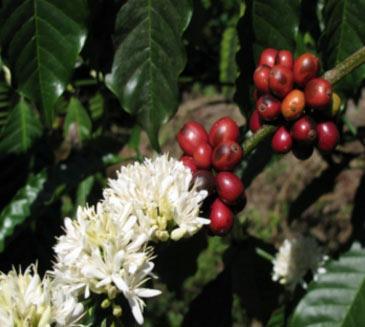 Coffee Bean Flower Plant