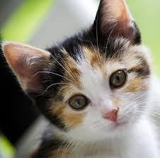 Image result for calico cat pictures non copyright