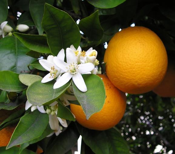 orange blossom wikimedia