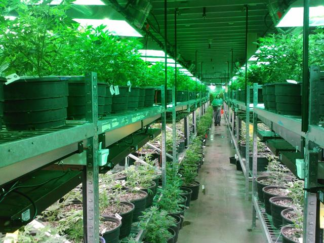 A colorado marijuana grow.