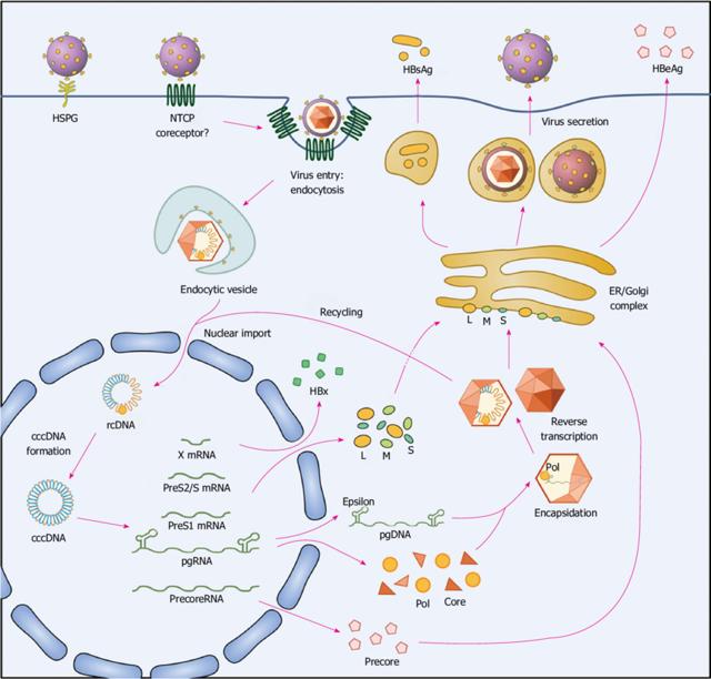 Image result for hepatitis b virus cycle
