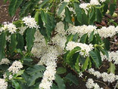flowering-coffee-plant
