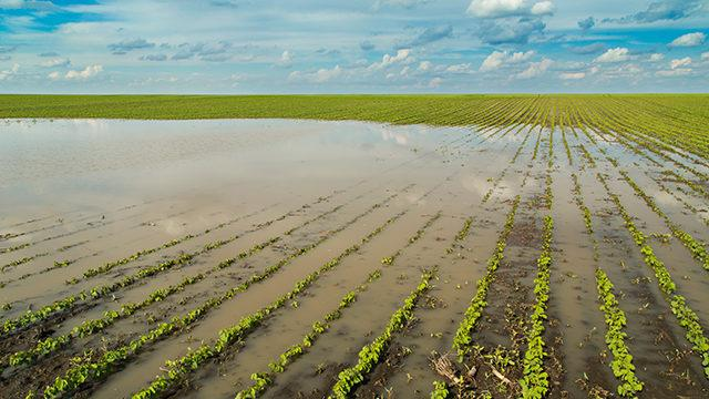 Corn And Soybeans Are Facing Flood, Trade Cross-Currents