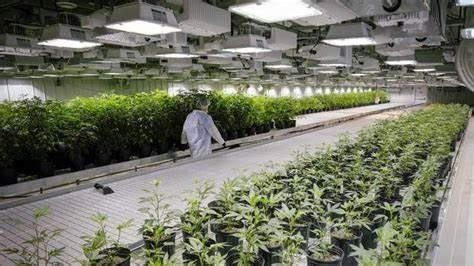 Aurora Cannabis Wasn't Built To Be Like Other Cannabis Producers: Get Over It