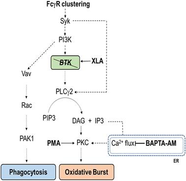 Principia Biopharma Inc.: Setting The Record Straight On BTK Inhibition - Principia Biopharma Inc. (NASDAQ:PRNB) | Seeking Alpha